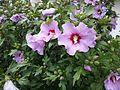 Hibiskus rosa - 01.jpg