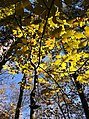 Hickory leaves in autumn.JPG