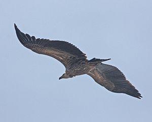Himalayan Griffon Vulture Pokhara
