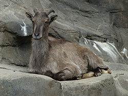 Himalayan Tahr lying down.jpg