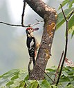Himalayan Woodpecker (Male) I2 IMG 3947.jpg