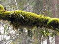 Hintersee Zauberwald Baum Moos Farn.jpg