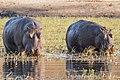Hippopotamus amphibius Botswana (28257017096).jpg