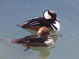 Hooded Merganser pair.JPG