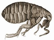 Hooke's drawing of a flea in Micrographia