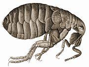 Hooke's drawing of a flea.