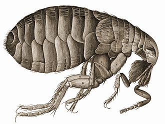 Micrographia - Image: Hooke Flea 01