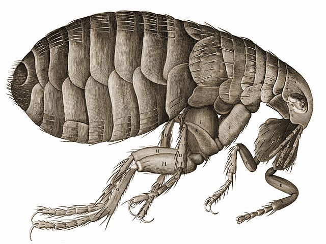 Hooke's drawing of a flea. Note the amount of detail in the image!