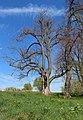 Horní Kozolupy, Slavice, protected lime tree.jpg
