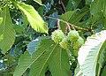 Horse chestnut fruits - geograph.org.uk - 533912.jpg