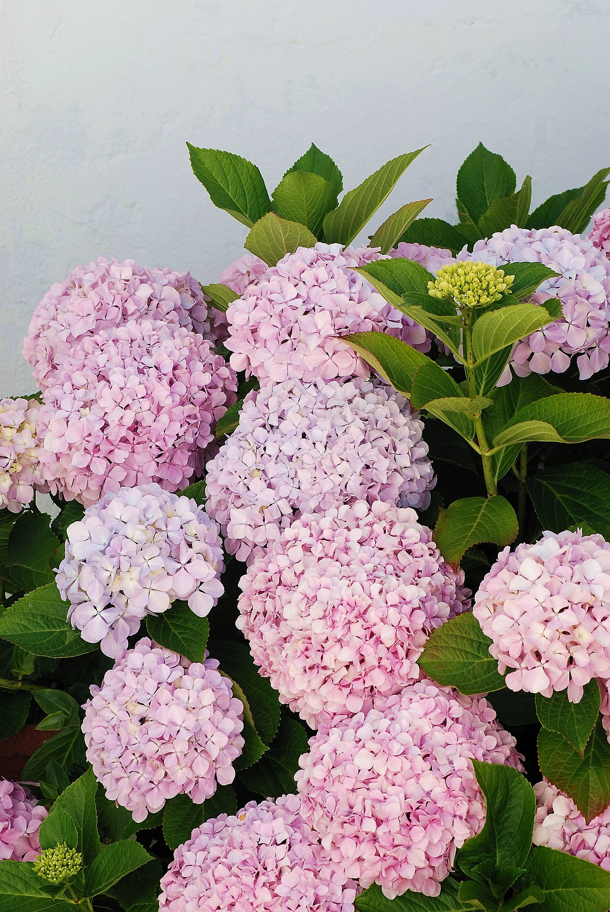 Hydrangea macrophylla wikip dia a enciclop dia livre - Cuidados de las hortensias ...