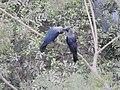 House Crow Corvus splendens by Raju Kasambe DSCN0468 (7) 35.jpg