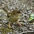 House Sparrow, Gävle, Gavleborg, Sweden.jpg