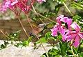 HummingbirdHawkMoth Big.jpg