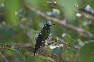 Monteverde Cloud Forest Reserve - Hummingbird Biodiversity in the Monteverde Cloud Forest