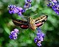 Hummingbird Moth (9691010084).jpg