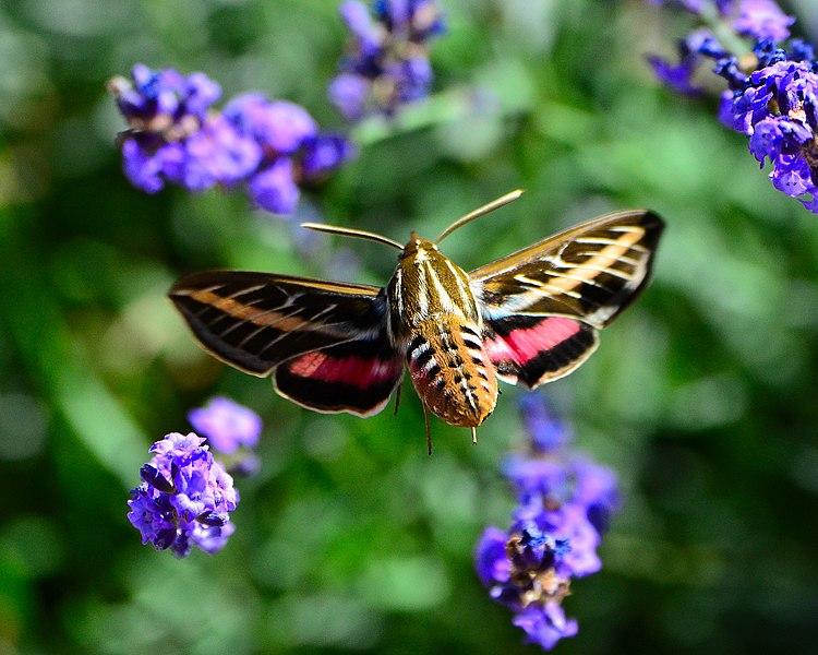 File:Hummingbird Moth (9691010084).jpg