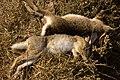 Hunting hare Lepus nigricollis MG 5312 09.jpg