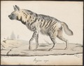 Hyaena striata - 1818-1842 - Print - Iconographia Zoologica - Special Collections University of Amsterdam - UBA01 IZ22200053.tif