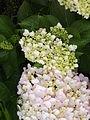 Hydrangea macrophylla cultivars 01.jpg