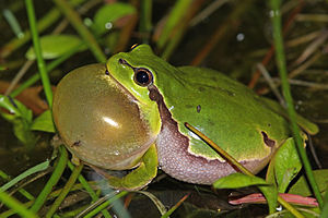 Seismic communication - European tree frog with distended gular pouch