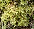 Hylocomium splendens Podkomorské lesy.jpg