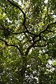 ID 719 Quercus 0001.jpg