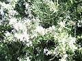 IMRosmarinus officinalis with bees a.JPG