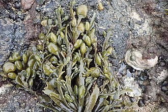Ascophyllum - Image: I Naturalist Ascophyllum nodosum