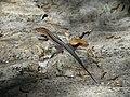INaturalist Pholidoscelis auberi 1.jpg