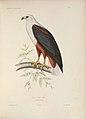 Iconographie ornithologique (Pl. 8) (6120020333).jpg