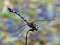 Ictinogomphus australis 1376.jpg