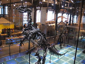 Museum of Natural Sciences - Mounted Iguanodon skeletons at the Dinosaur hall