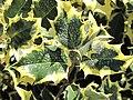 Ilex aquifolium aureomarginata (Jardin des Plantes de Paris) 2.jpg