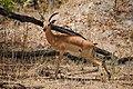 Impala near Moremi Game Reserve - Botswana - panoramio.jpg