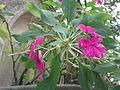 Impatiens gardeneriana-xavier cottage-yercaud-salem-India.JPG