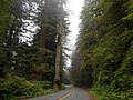 In the redwoods (21942775441).jpg