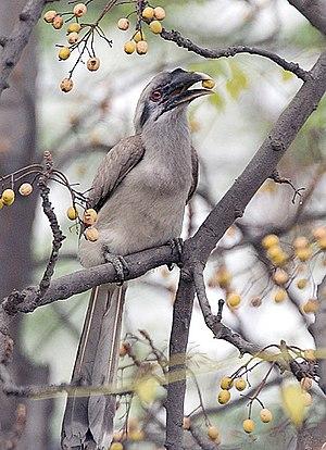 Ocyceros - Image: Indian Grey Hornbill I IMG 9017
