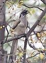 Indian Grey Hornbill I IMG 9017.jpg