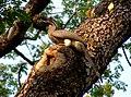 Indian Grey Hornbill Ocyceros birostris 4 by Dr. Raju Kasambe (3).jpg