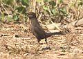 Indian Robin (Saxicoloides fulicata). IMG 7091 (1). Thane, Maharashtra..JPG