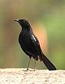 Indian Robin Saxicoloides fulicatus male by Dr. Raju Kasambe DSCN5908 (1).jpg