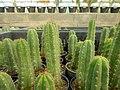 "Iran-qom-Cactus-The greenhouse of the thorn world گلخانه کاکتوس ""دنیای خار"" در روستای مبارک آباد قم- ایران 02.jpg"