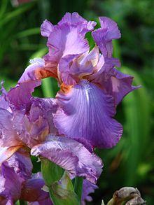Iris (plant) - Wikipedia
