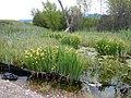 Iris pseudacorus - paleyellow iris - Flickr - Matt Lavin (8).jpg