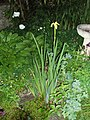 Iris pseudacorus L. (AM AK318034-3).jpg