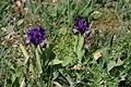 Iris pseudopumila4.jpg