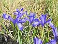 Iris ruthenica - Bucegi, Jepii mici 6.jpg