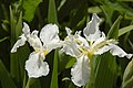 Iris sibirica 'Snow Queen' (X-1260-B) Flowers.JPG