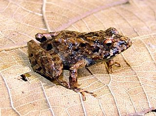 <i>Ischnocnema verrucosa</i>